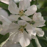 яблоня цветет :: александр