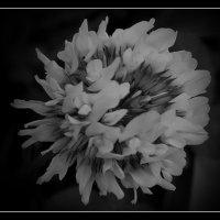 Белый клевер в чёрно-белом варианте :: Нина Корешкова