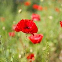 Там где цветут,Маки ... :: Елена Нор
