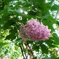 Сирень цветёт :: °•●Елена●•° Аникина♀
