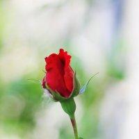 Первая роза! :: Юрий Гайворонский