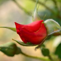 Бутон розы. :: Любовь