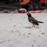 Myna bird - или в народе говорят умная птичка :: Vita Farrar