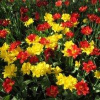 Буйство цветения :: Самохвалова Зинаида
