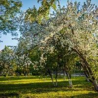 Цветущая яблонька. :: Андрей Гриничев