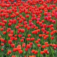 Тюльпаны :: Анатолий