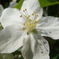 Яблоня в цвету :: Елена Дёмина