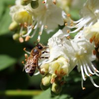 Пчела уже собирает ароматный и сладкий нектар - будет каштановый мёд. :: Валентина ツ ღ✿ღ