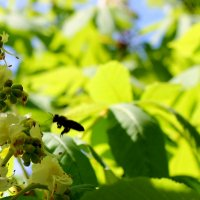 Среди яркой зелени молодой листвы  на каштанах гроздями зацвели цветы. :: Валентина ツ ღ✿ღ