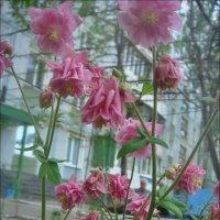 Аквилегия в нашем дворе :: Нина Корешкова