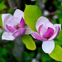 цветы магнолии :: Александр Александр