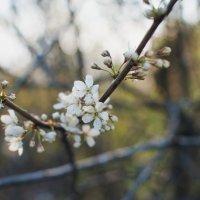 Прекрасные цветы вишни. :: Elena Nikitina