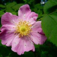 Розовый цветок :: Вера Щукина