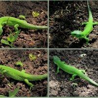 Во саду ли, в огороде... :: Нина Бутко