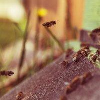 Пчела в работе :: Евгений Подложнюк