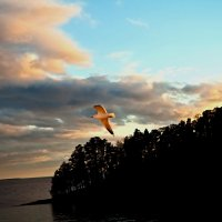 Чайка на закате :: Сергей Потапов