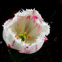 Небыкновенный белый махровый тюльпан :: Damir Si