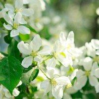 Яблоня цветет :: Александра Авраменко
