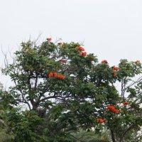 Спатодея,тюльпанное дерево :: Natalia Harries