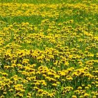желтая поляна... :: Марина Харченкова