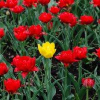 Тюльпаны :: Сергей Шашкин