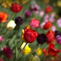 Майские тюльпаны. :: Владимир Иванов