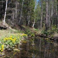 Кубышка на берегах реки Котинки :: Наталья Тимофеева