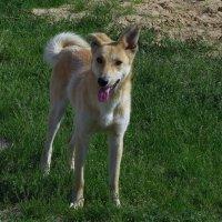муромский щенок,забавный и доверчивый :: Сергей Цветков