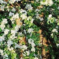 Яблони в цвету – весны кружение :: Владимир Гилясев