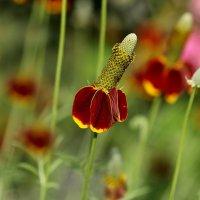 Бразильская шляпа (название цветка) :: Нилла Шарафан
