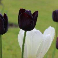 Чёрные тюльпаны :: Mariya laimite
