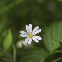 Лесной цветок :: Олег Пученков