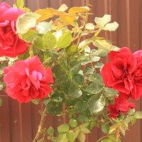 роза :: олег мысак