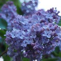 Цветет сирень в моем саду... :: Ольга П