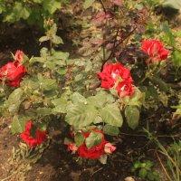 куст розы :: олег мысак