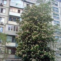 Запорожский каштан - почти с девятиэтажный дом! :: Нина Корешкова