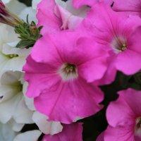Цветочный хоровод-71. :: Руслан Грицунь