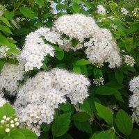 Хорошие цветочки (кустарник). :: Юрий Биличенко