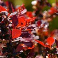 Красные листья :: Дмитрий Лебедихин