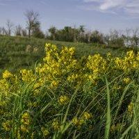 полевые цветы..... :: александр варламов