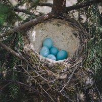 Гнездо певчего дрозда :: Анна (Анка) Салтыкова
