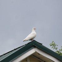 Белый голубь :: asalenin
