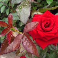 Учусь снимать цветы. Роза :: Андрей Лукьянов