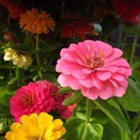 Учусь снимать цветы. Циния :: Андрей Лукьянов