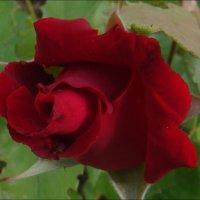Пылающий цветок любви :: Нина Корешкова