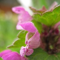 Mentha rotundifolia. Мята и её цветок :: Владимир Гилясев