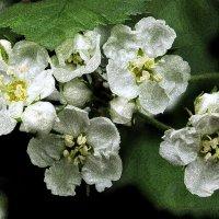 Цветет боярышник... :: Наталья Лунева