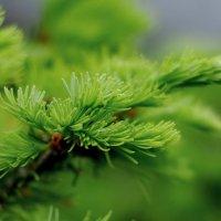 Нежной зелени смолистый Аромат... :: Татьяна Аистова