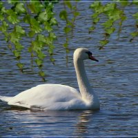 Вид лебедей – как отрада для глаз. :: Anatol Livtsov