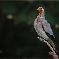 Красава...парк птиц...Куала Лумпур.Малайзия. :: Александр Вивчарик